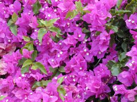 Bouganvillea californiana