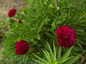 -Paeonia officinalis rubla plena