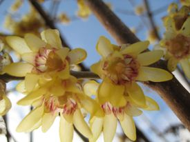 Chimonanthus spp.
