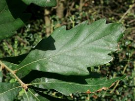 Quercus x turneri