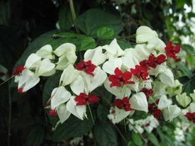 -Clerodendrum tricotomum