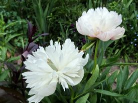 -Paeonia officinalis alba plena