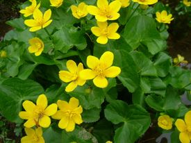 -Caltha palustris
