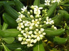 Pittosporum spp.