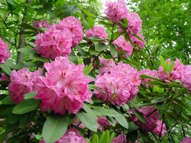 Rhododendron spp.