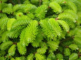 Abies spp.